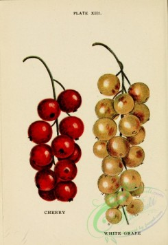 cherry-00453 - Cherry Currant, White Grape Currant