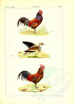 chickens_and_roosters-00005 - unidentified, 001 [2631x3685]