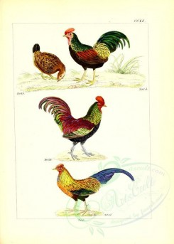chickens_and_roosters-00006 - unidentified, 002 [2631x3685]