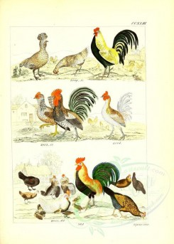 chickens_and_roosters-00007 - unidentified, 003 [2631x3685]