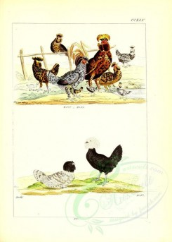 chickens_and_roosters-00009 - unidentified, 005 [2631x3685]