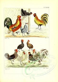 chickens_and_roosters-00011 - unidentified, 007 [2631x3685]