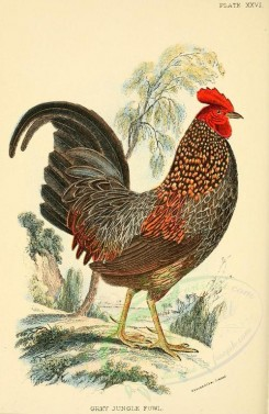 chickens_and_roosters-00012 - Grey Junglefowl [2128x3271]