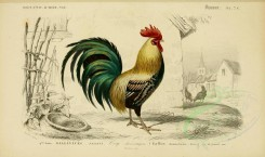 chickens_and_roosters-00021 - Cock [3662x2164]