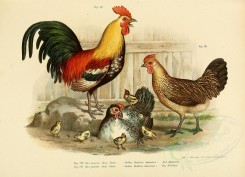 chickens_and_roosters-00028 - gallus bankiva domestica [3406x2460]