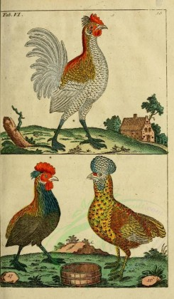 chickens_and_roosters-00033 - Red Junglefowl, phasianus gallus, 002 [1821x3115]