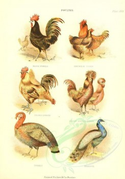 chickens_and_roosters-00035 - Chickens - Black Spanish, Colored Dorking, Golden Spangled Polish, Partridge Cochin [2030x2888]