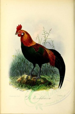 chickens_and_roosters-00043 - Red Junglefowl [2440x3695]