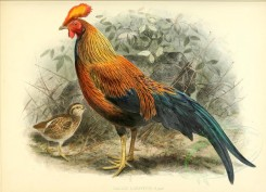 chickens_and_roosters-00044 - Sri Lankan Junglefowl or Ceylon Junglefowl [3646x2640]