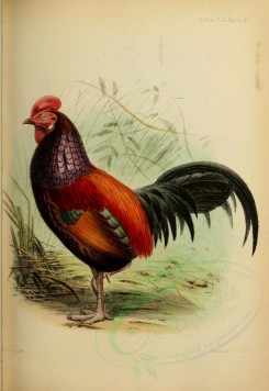 chickens_and_roosters-00046 - Green Junglefowl or Javan Junglefowl or Forktail or Green Javanese Junglefowl [2334x3389]