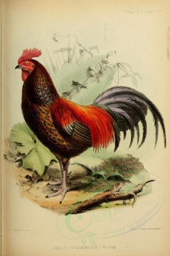 chickens_and_roosters-00047 - Jungle Fowl [2260x3396]
