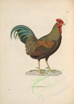 chickens_and_roosters-00051 - gallus furcatus [4487x6276]