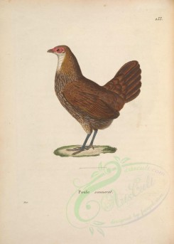 chickens_and_roosters-00053 - Grey Junglefowl, gallus sonnerati, 2 [4487x6276]
