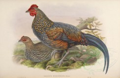 chickens_and_roosters-00061 - Grey Junglefowl, gallus sonnerati [6990x4551]