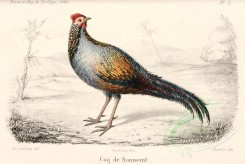 chickens_and_roosters-00063 - Grey Junglefowl, gallus sonnerati [2730x1826]