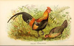chickens_and_roosters-00064 - gallus ferngineus [4766x2962]