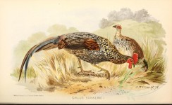 chickens_and_roosters-00066 - Grey Junglefowl, gallus sonnerati [4782x2938]