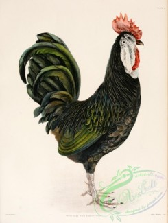 chickens_and_roosters-00083 - 003-White-faced Black Spanish Fowl