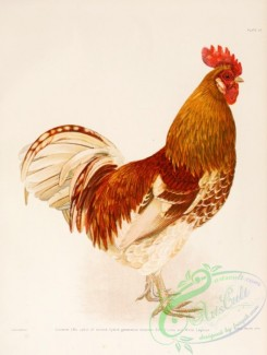 chickens_and_roosters-00090 - 010-Hybrid Buff Cochin x White Leghorn
