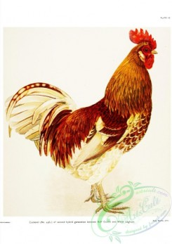 chickens_and_roosters-00100 - 010-Hybrid Buff Cochin x White Leghorn