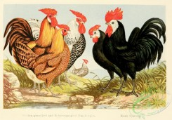 chickens_and_roosters-00112 - 003-Golden-pencilled and Silver-spangled Hamburghs, Black Spanish