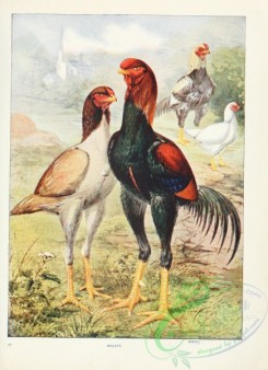 chickens_and_roosters-00141 - Malays