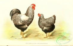 chickens_and_roosters-00152 - 002-Silver-laced Wyandottes