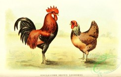 chickens_and_roosters-00158 - 008-Single-comb Brown Leghorns