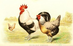 chickens_and_roosters-00161 - 011-Silver-gray Dorkings