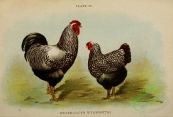 chickens_and_roosters-00165 - 002-Silver-laced Wyandottes