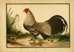 chickens_and_roosters-00180 - Axam Lallak