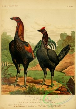 chickens_and_roosters-00184 - Brown-breasted Red Game