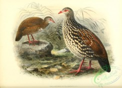 chickens_and_roosters-00300 - Sri Lanka Spurfowl