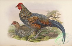 chickens_and_roosters-00312 - Sonnerat's Jungle-fowl