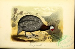 chickens_and_roosters-00317 - Guineafowl