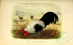 chickens_and_roosters-00318 - Gallus domesticus (Latin)