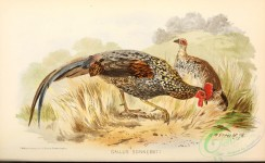 chickens_and_roosters-00320 - gallus sonnerati