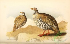chickens_and_roosters-00322 - tetraogallus thibetanus