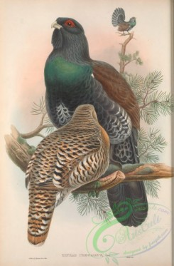 chickens_and_roosters-00355 - 005-Western Capercaillie, tetrao urogallus