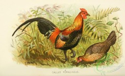 chickens_and_roosters-00364 - gallus ferngineus