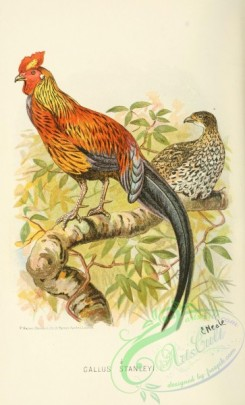 chickens_and_roosters-00366 - gallus stanleyi