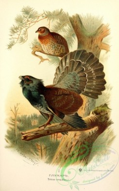 chickens_and_roosters-00371 - Western Capercaillie, tetrao urogallus