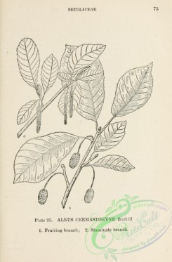 chinese_plants-00024 - black-and-white 024-alnus cremastogyne