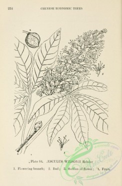 chinese_plants-00083 - black-and-white 083-aesculus wilsonii