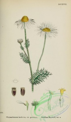 chrysanthemum-00005 - Scentless Mayweed, chrysanthemum inodorum genuinum