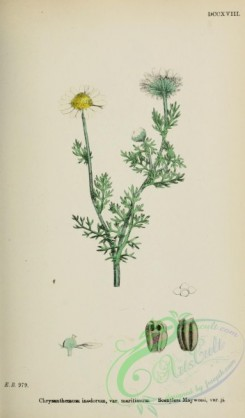 chrysanthemum-00006 - Scentless Mayweed, chrysanthemum inodorum maritimum