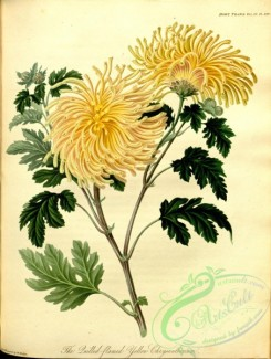 chrysanthemum-00010 - Quilled-flamed Yellow Chrysanthemum