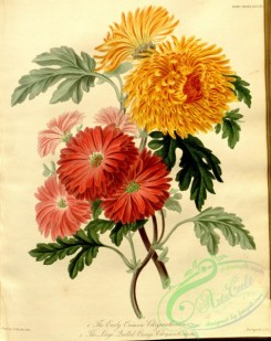 chrysanthemum-00011 - Early Crimson Chrysanthemum, Large Quilled Orange Chrysanthemum