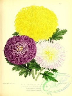 chrysanthemum-00026 - chrysanthemum, 2