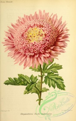 chrysanthemum-00032 - chrysanthemum, 3